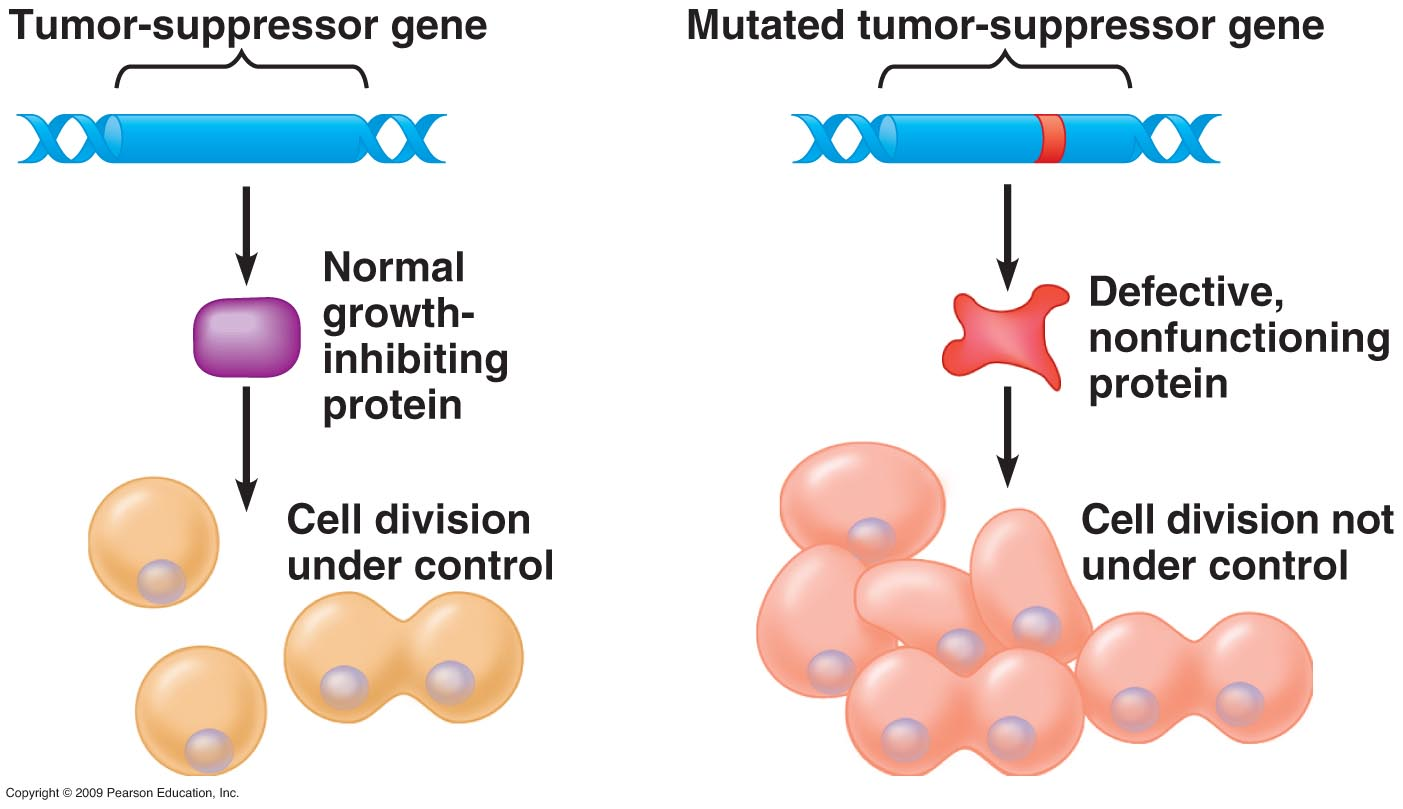 tumor suppressor